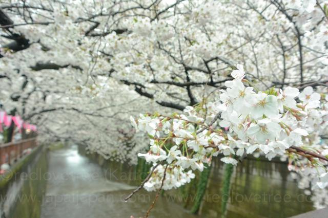 Sakura-meguro-4