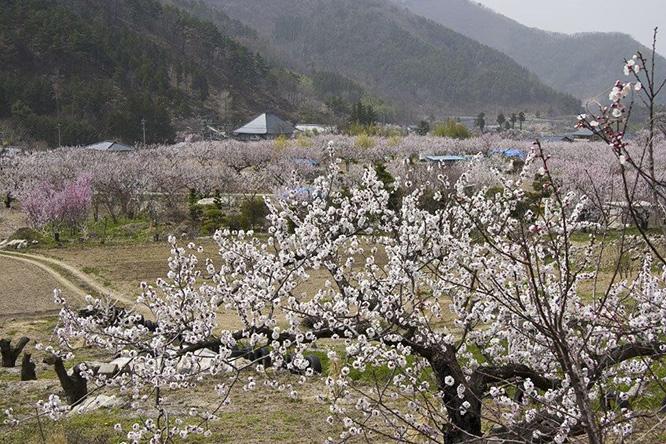 (8)หมู่บ้านแอพริคอต โมริ
